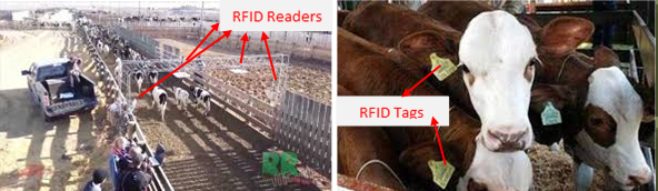 RFID in Livestock Management